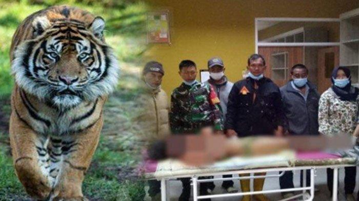 Detik-detik Harimau Cabik-cabik Petani hingga Sebagian Tubuhnya Hilang, 7 Jam Baru Berani Mendekat
