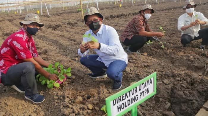 Tanam Perdana Tembakau di Kebun Ajong Gayasan Jember, PTPN X Optimistis Raup Laba Rp 52 Miliar