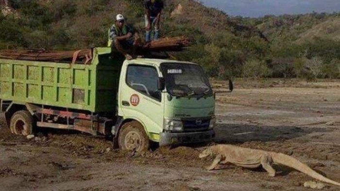 Bukan Editan, Foto Viral Komodo Mengadang Truk Pengangkut Material, Ini Fakta Proyek Jurassic Park