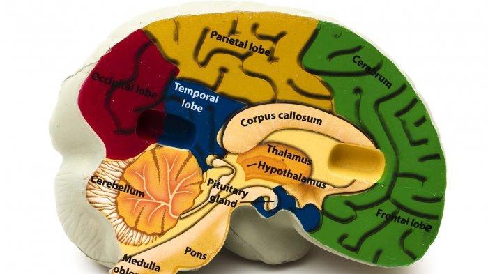 LIFEPACK: Fungsi Hipotalamus, Area Kecil di Bagian Tengah Otak, Simak Penyakit yang Menyerangnya