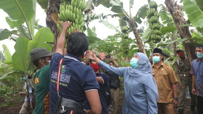 Tinjau Bibit Pisang Varietas Unggul di Kab Malang, Gubernur Khofifah sempat Beri Nama