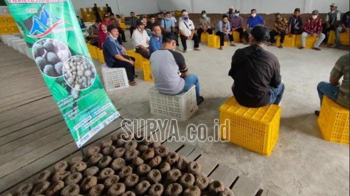 Saat Petani Porang Trenggalek Borong Benih Bersertifikasi Varietas Madiun 1