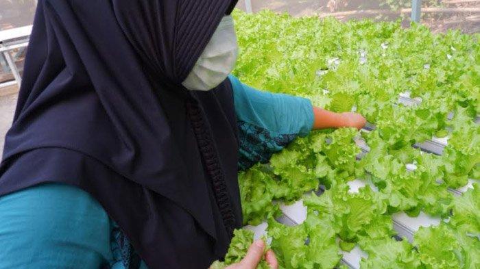 Ancam Produk Organik, Dua Jenis Hama Mulai Serang Pertanian Hidroponik di Kota Kediri