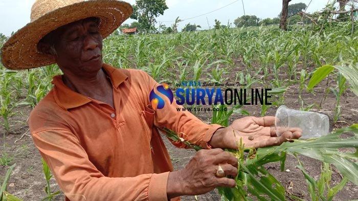Galeri Foto Hama Ulat Serang 50 Hektare Lahan Petani Jagung di Pamekasan