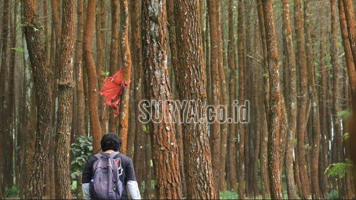 Hamparan hutan pinus di Desa Sumberputih, Kecamatan Wajak, Kabupaten Malang.