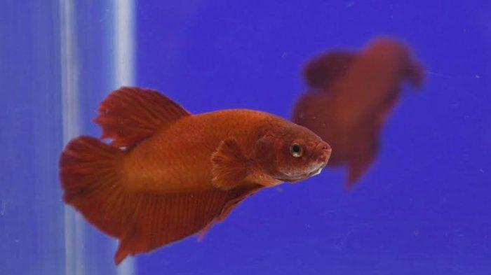 Kembali Digemari, Harga Ikan Cupang Kian Melambung