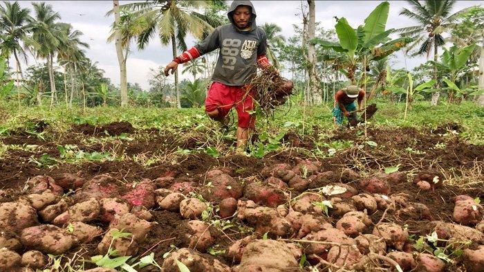 Petani Ubi di Lumajang Menjerit, Panen 60 KG Hanya Laku Rp 10.000