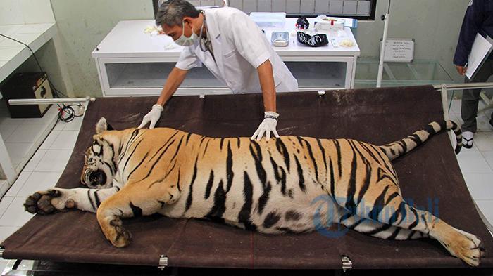 Harimau Benggala Diperiksa Giginya  6 Bulan Sekali