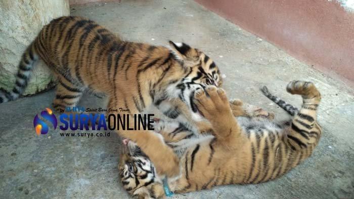 2 Anak Harimau Sumatera Jadi Penghuni Baru Maharani Zoo & Goa Lamongan