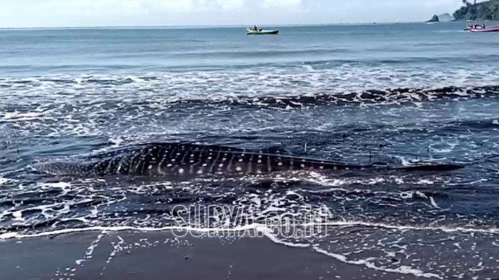 Petugas Kesulitan Mengevakuasi Bangkai Hiu Paus di Pantai Bayem Kabupaten Tulungagung