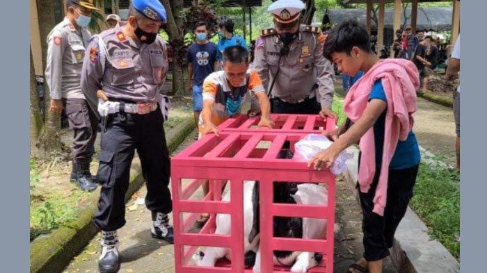 Kontes Kambing di Pasar Hewan Srengat, Blitar Dihentikan Polisi, Tak Ada Izin Polisi - Satgas Covid