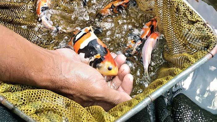 Dampak Setahun Pandemi, Pembudidaya Patin Tulungagung Banyak Beralih ke Ikan Koi