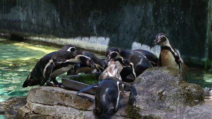 Taman Safari Prigen Pasuruan Beri Tumpeng Ikan 1 Kilogram untuk Penguin