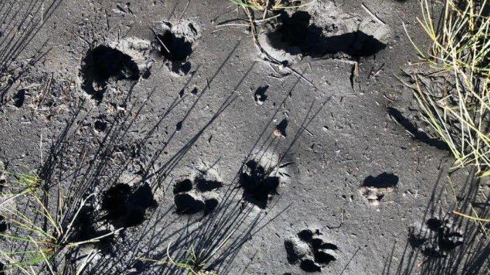 Jejak telapak kaki diduga macan tutul yang ditemukan petugas di pinggiran Danau Ranu Kumbolo, Gunung Semeru, Jawa Timur, Jumat (25/9).