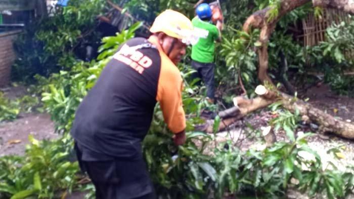 Hujan Deras Disertai Angin Kencang Akibatkan Beberapa Rumah Rusak dan Pohon Tumbang di Jember