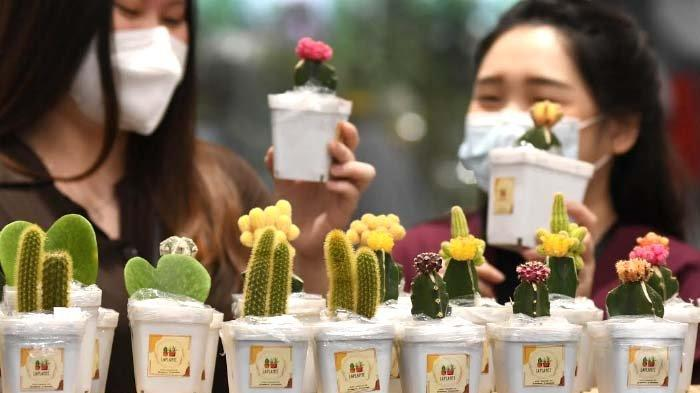 Cara Merawat Tanaman Kaktus Grafting yang makin Ngetren di Masyarakat