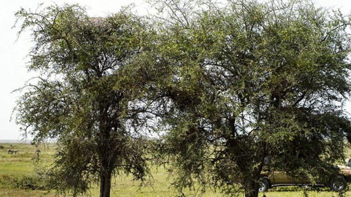 FOTO - Bisakah Anda Menemukan  Macan Tutul yang Sedang Bersembunyi di Pohon Ini?