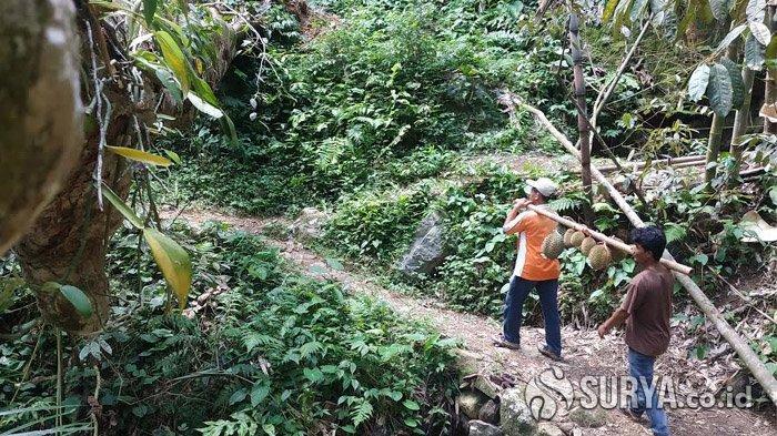 Lari Menjelajahi Hutan Durian Terluas di Dunia dalam Durio Forest Run di Trenggalek