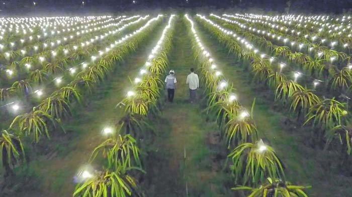 Berkah Listrik PLN di Kebun Buah Naga, Omzet Petani Pulau Seram Maluku Tengah Naik 150 Persen