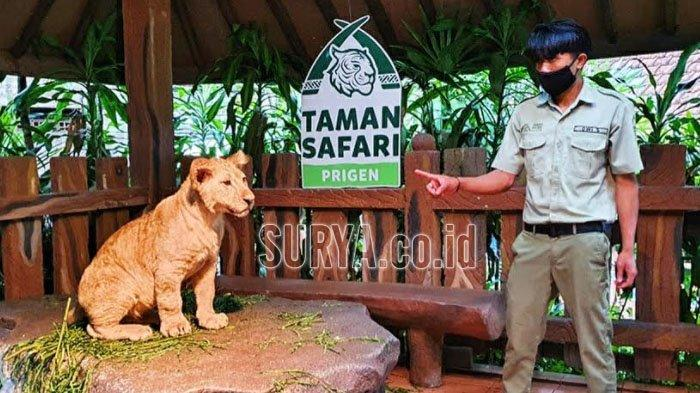 Ada Tiga Bayi Singa Baru di Taman Safari Prigen Pasuruan, Namanya Alfa, Beta dan Gamma