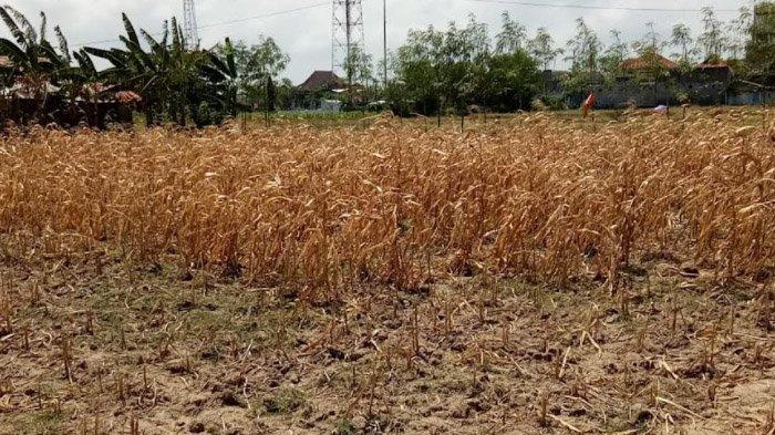 Kekeringan Kritis Melanda 66 Desa di Sampang; Dropping Air Tunggu Anggaran dari Provinsi