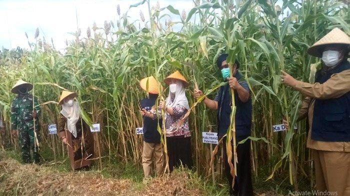 Sorgum Situbondo Menjanjikan untuk Pangan, Wabup Sumenep Ingin Budidayakan untuk Warga di Kepulauan