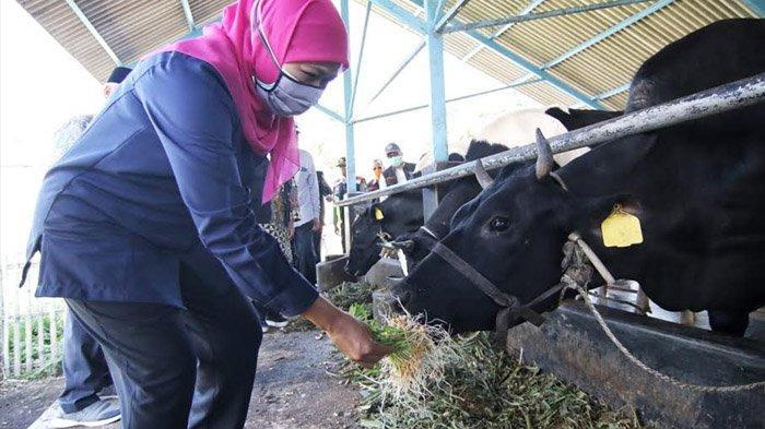 Khofifah Siap Bantu Subsidi Impor Indukan Sapi Bibit Unggul untuk Peningkatan Produksi Susu di Jatim