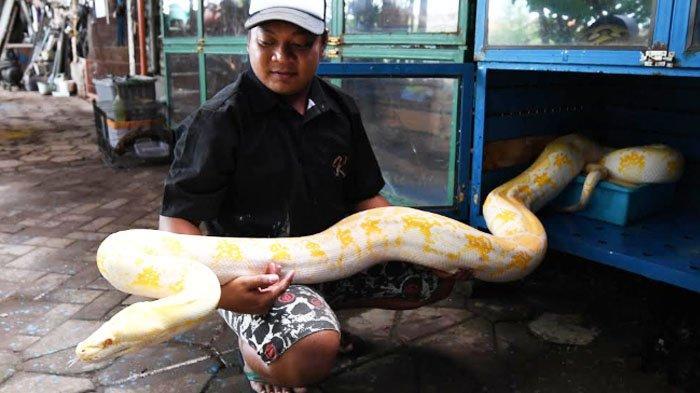 Merawat Ular Itu Mudah Sejak Kecil Alvano Pelihara Reptil Kini Miliki 25 Ular Halaman 2 Surya