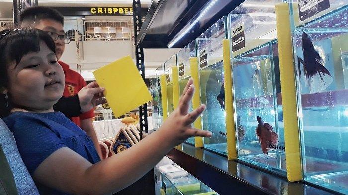 Pemanasan Jelang Kontes Kecantikan Ikan Cupang di All Star International Betta Show