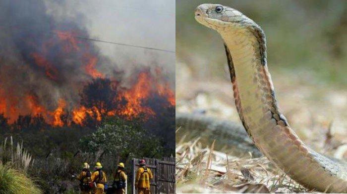 Kronologi Ular Kobra Keluar dari Sarang Akibat Kebakaran Hutan, di Lokasi Lain Ular Sanca Terbakar