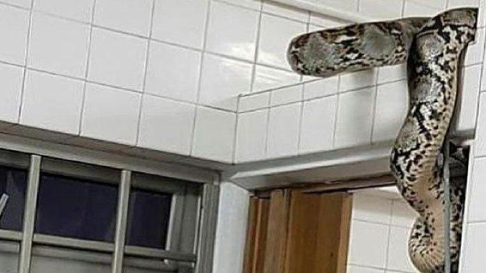 Kronologi Ular Piton 3 Meter di Toilet Bikin Sekeluarga Panik, 2 Kasus Sebelumnya Viral di Facebook