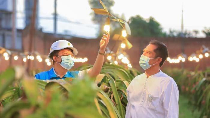 Berkat Electrifying Agriculture PLN, Omzet Petani Buah Naga Naik hingga Tiga Kali Lipat