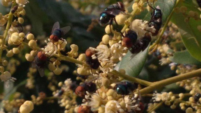 Ketika Lalat Ijo Menyerbuki Buah Klengkeng, ke mana Lebah Madu Pergi?