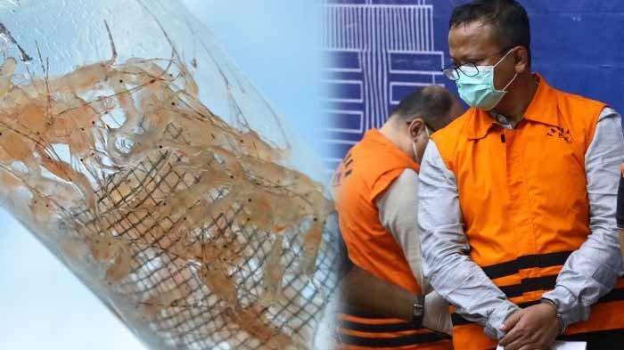 Ilustrasi lobster dan Menteri Edhy Prabowo yang telah ditetapkan sebagai tersangka dugaan suap izin ekspor lobster. Kasus tersebut menyeret nama Suharjito selaku pengusaha tajir selaku penyuap Menteri Edhy Prabowo.