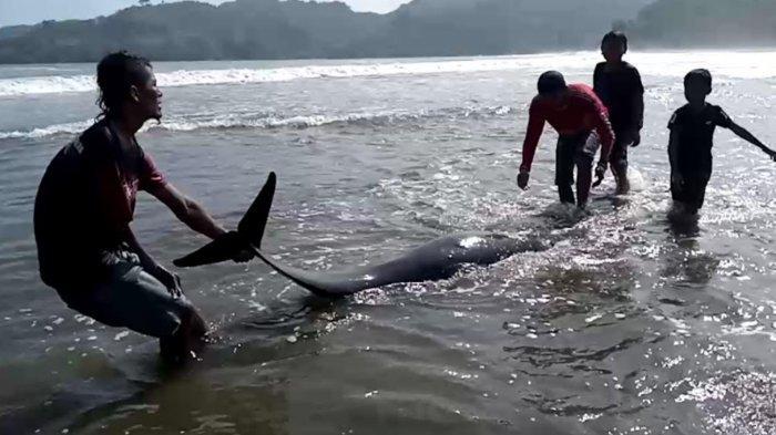 5 Lumba-lumba Terdampar di Pantai Sidem Tulungagung, 2 Mati, 2 Selamat, dan 1 Ekor Malah Melawan