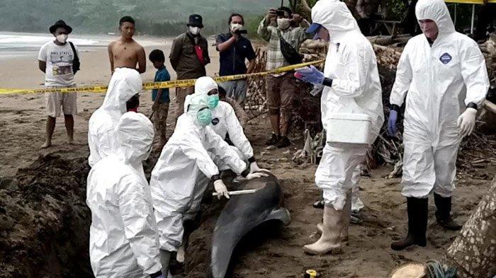 BSPL Cari Penyebab Kematian Lumba-lumba Elektra, Bangkai Ikan pun Dibedah di Tepi Pantai Tulungagung