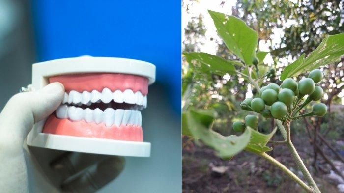 Manfaat Takokak untuk Gigi dan Mulut, Ternyata Mengandung Antibakteri Penghambat Kerusakan Gigi