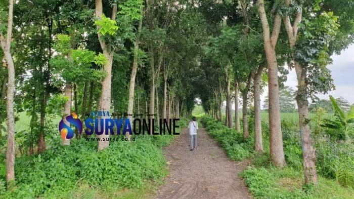 Lokasi kejadian perkara seorang gadis belia nyaris dirudapaksa pelaku pria yang menawari pekerjaan di lahan kosong area persawahan, Jalan Cancer, Dusun Balongkrai RT03/RW01, Kelurahan Pulorejo, Kecamatan Prajurit Kulon, Kota Mojokerto.
