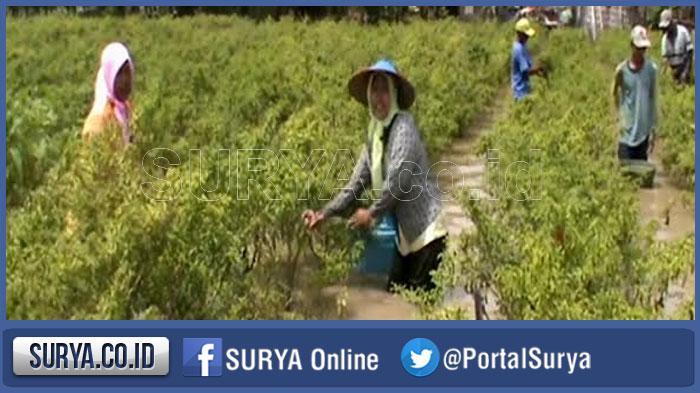 Hujan di Musim Kemaru, Petani Cabe di Jember Keluhkan Tanamannya Terancam Gagal Panen