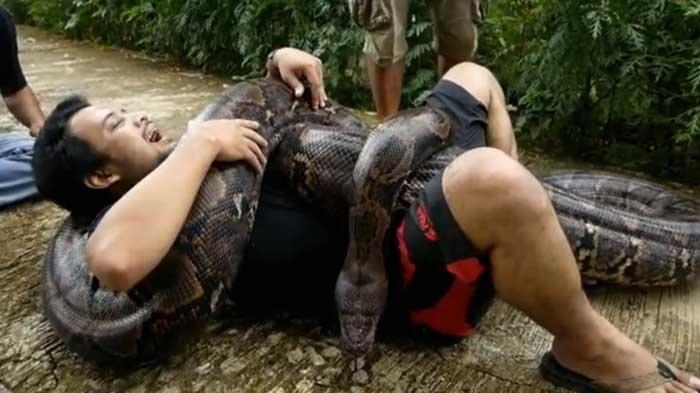 Ular Piton Mangsa Siswa SMP, Panji Petualang Ajarkan Cara Melepaskan Diri dari Lilitan Piton