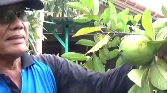 Hikmah Wabah Corona bagi Petani Magetan, Puluhan Pohon Jambu Biji Milik Parlan Ludes Diborong Warga
