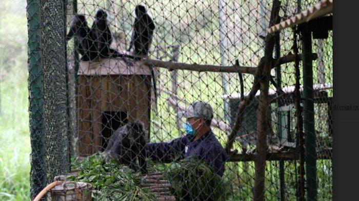 Delapan Ekor Lutung Jawa Hasil Sitaan BKSDA dan Penyerahan Masyarakat Akan Dilepasliarkan
