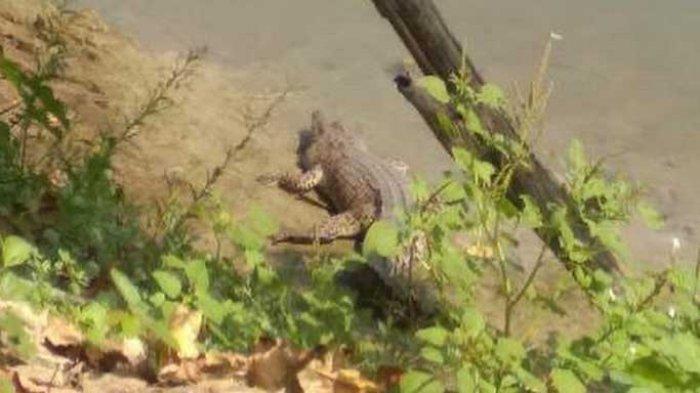 2 Ekor Buaya Muncul di Aliran Sungai Bengawan Solo di Lamongan, Segini Ukurannya