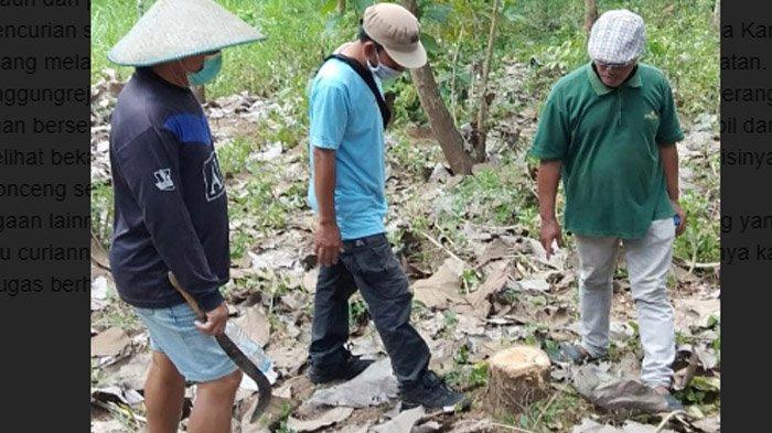 17 Batang Jati Dijarah, Perhutani Blitar Memburu Pelaku Yang Tinggal di Sekitar Hutan