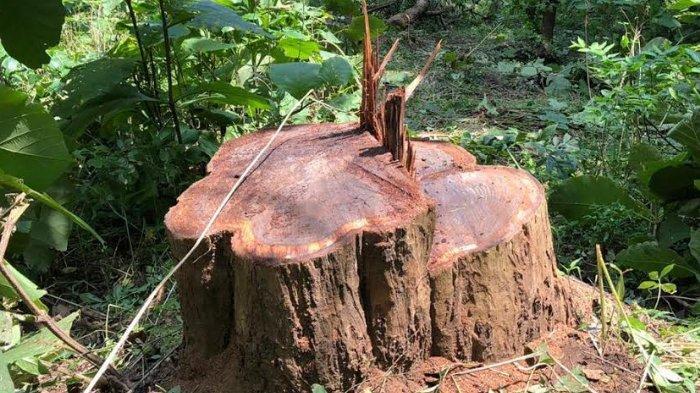 Pohon Sonokeling Seharga Rp 80 Juta Dicuri Dari Kawasan Situs Sejarah Goa Pasir Tulungagung