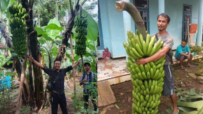 Mengenal Pisang FHIA-17, Pisang Super Bertandan 2 Meter di Dampit Malang
