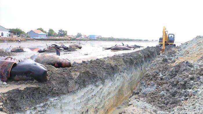 Proses Penguburan Paus Terdampar di Bangkalan, Gubernur Khofifah: Pemprov Jatim Kirim Dua Eskavator