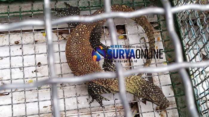 41 Komodo Dibawa dari Flores ke Surabaya, Begini Alur Perdagangan Satwa Ilegal ke Luar Negeri