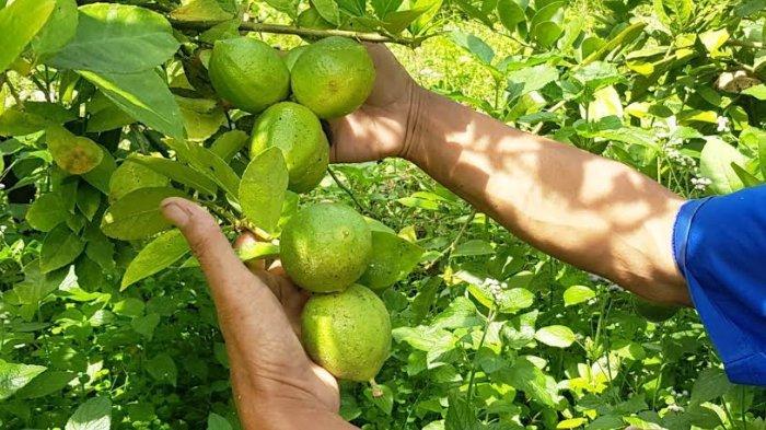 Usir Kolesterol Tinggi dengan Jeruk Lemon. Ini 4 Cara Mengonsumsinya