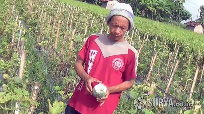 Sepekan Diterjang Cuaca Ekstrem, Puluhan Hektare Tanaman Melon Siap Panen di Magetan Membusuk